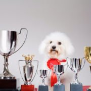 Georgie Bichon Gallery Shot