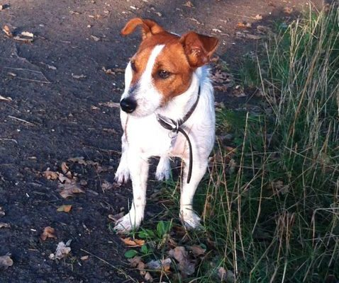 Troy the Jack Russell