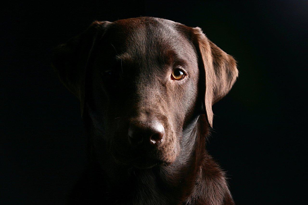 Brown dog head