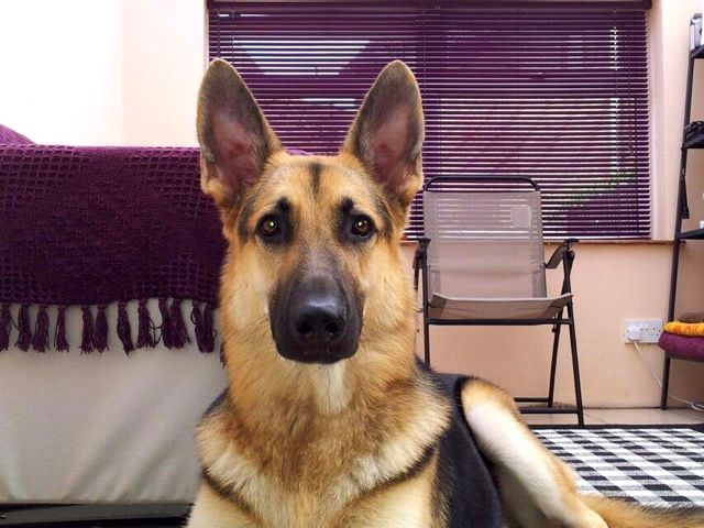 Awesome the German Shepherd