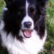 Dudley Border Collie