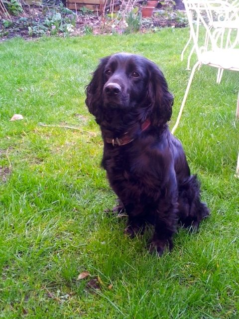 Inca the Cocker Spaniel