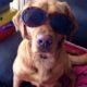 Labrador Smiller