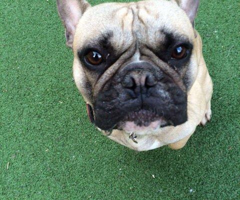 Monty French Bulldog