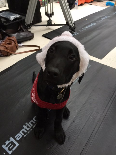 Chidley the Labrador in costume