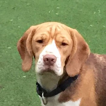 Bertie Beagle