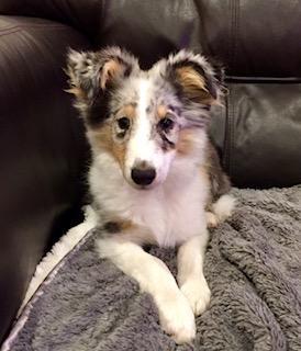 Youki Sheltie Pup
