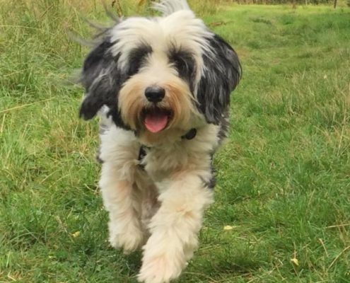 BILLY  the Tibetan Terrier