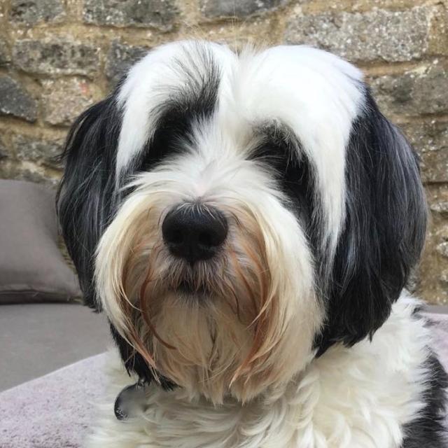 BILLY  the Tibetan Terrier