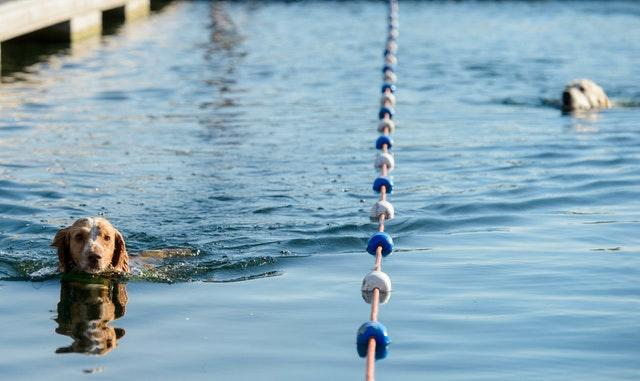 dogs swimming race