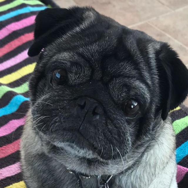 Stan the Pug