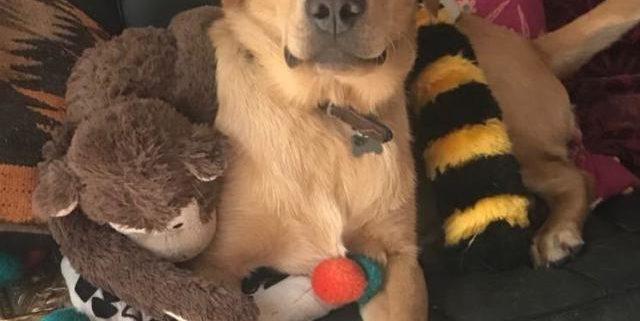 Harry the Labrador Retriever