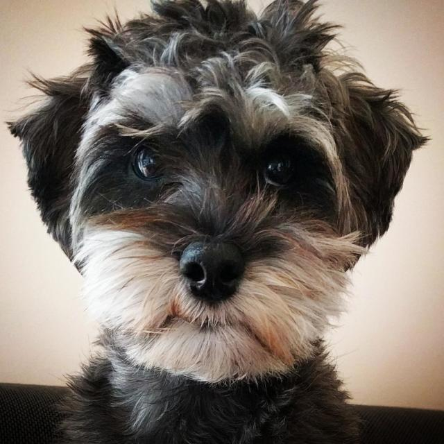 Arya the Miniature Schnoodle
