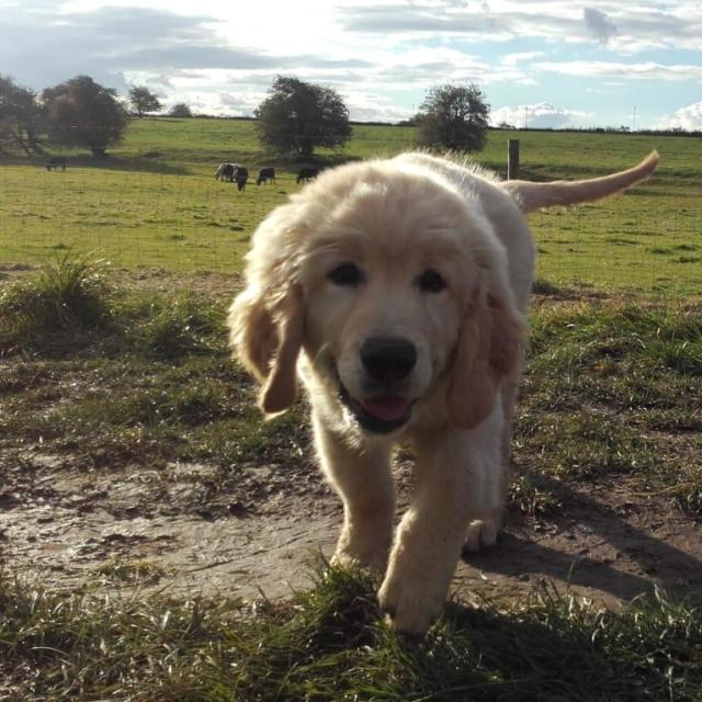 Monty the Golden Retriever