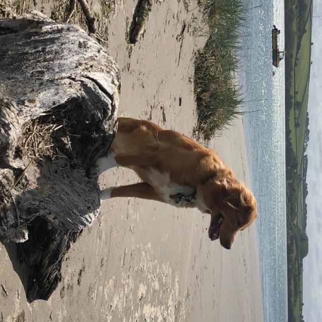 Purdey the Nova Scotia Duck-Tolling Retriever