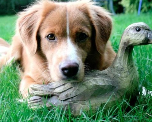 Purdey the Nova Scotia Duck-Tolling Retriever