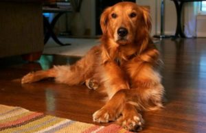 Red-Gold golden retriever