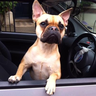 Esme the French Bulldog