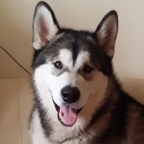 Damon the Alaskan Malamute