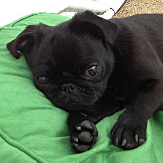 Lola the Pug