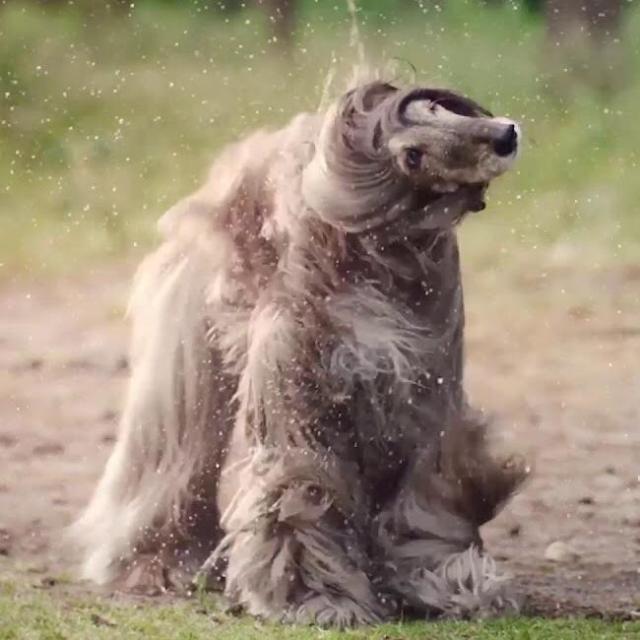 Iraida  the Afghan Hound