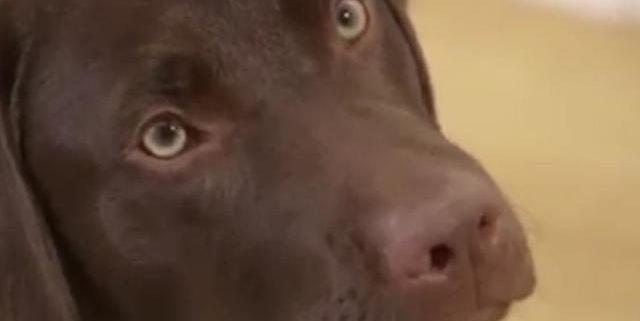 Barney the Labrador Retriever