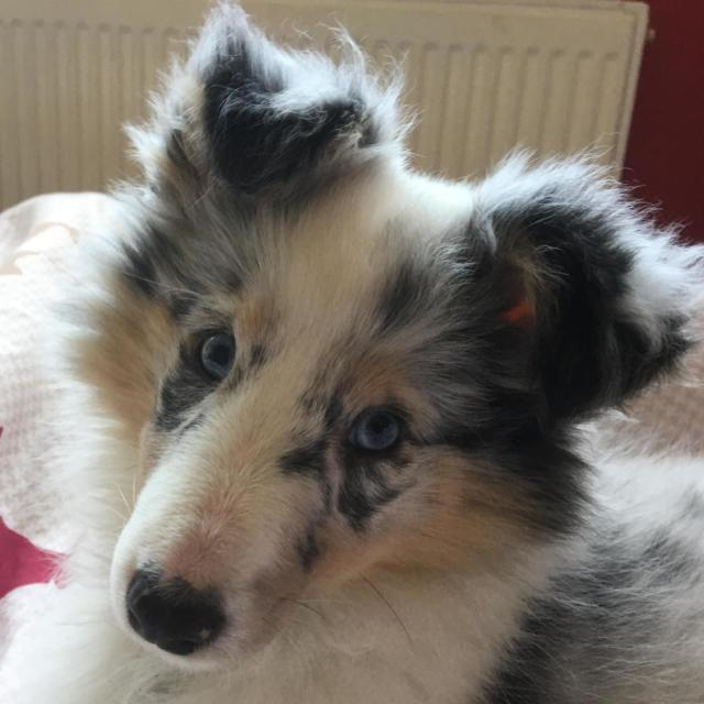 Quinn the Shetland Sheepdog