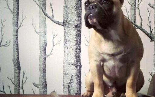 Monty the French Bulldog