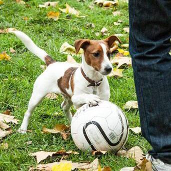 Troy  the Jack Russell Terrier