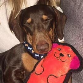Cedric the Miniature-Dachshund