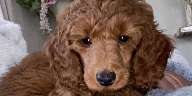 Ruby Red  the Poodle