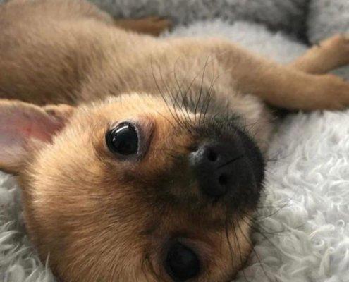 Rosie the Pomeranian