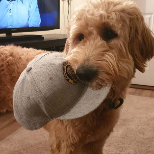Finley the Goldendoodle
