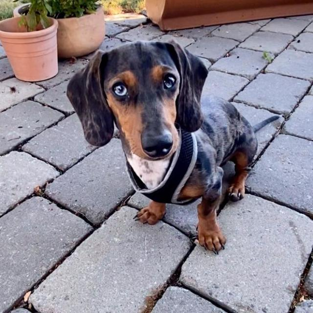 Canggu the Miniature-Dachshund