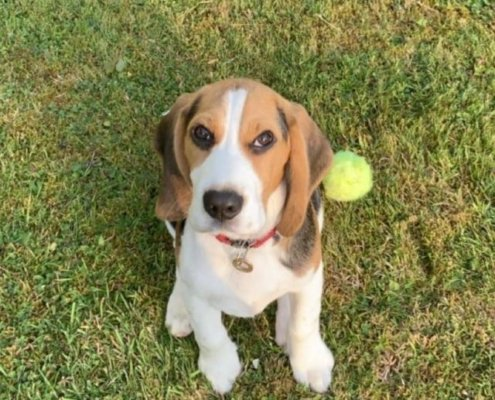 Bagel the Beagle