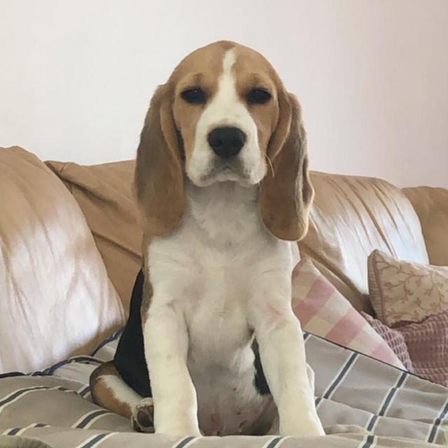 Poe the Beagle