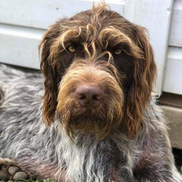 Riley  the German Wirehaired Pointer