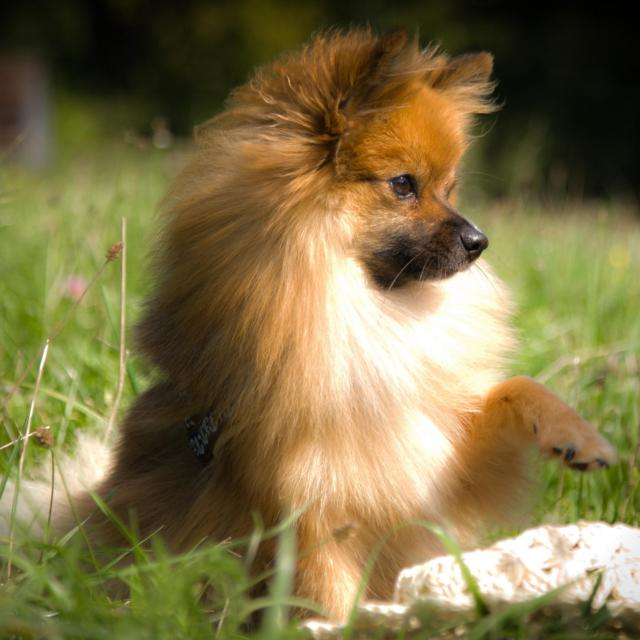 Bijou the German Spitz