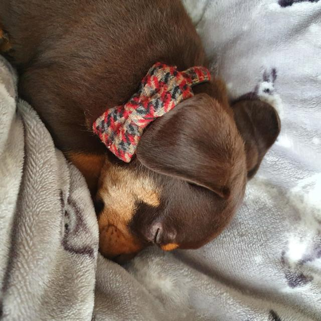 Luther the Dachshund