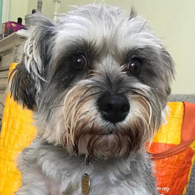 Nellie the Miniature Schnauzer