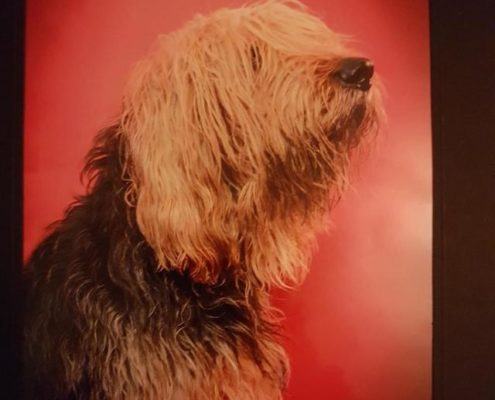 Gilmour the Otterhound