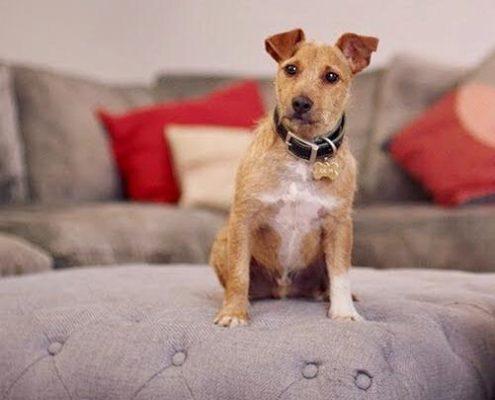 Mr jones  the Jack Russell Terrier