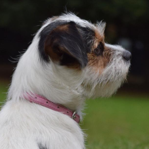Muddle  the Jack Russell Terrier