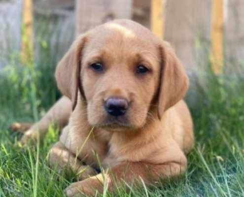 Wolfie the Labrador Retriever