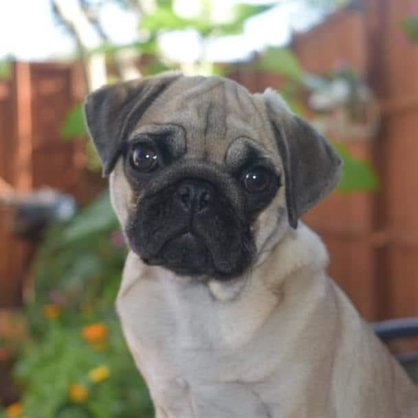 Lily the Pug