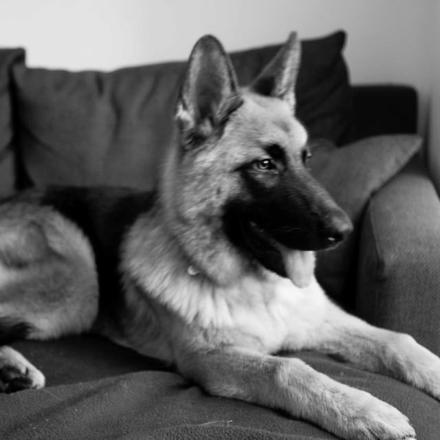 Blue the German Shepherd Dog