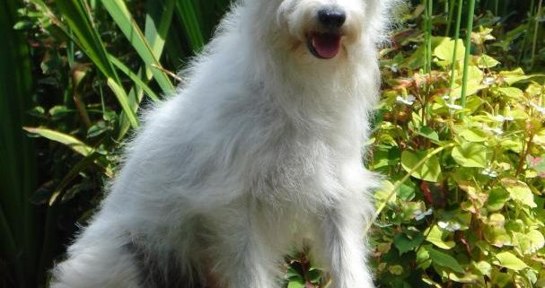 Jed the Parson Russell Terrier