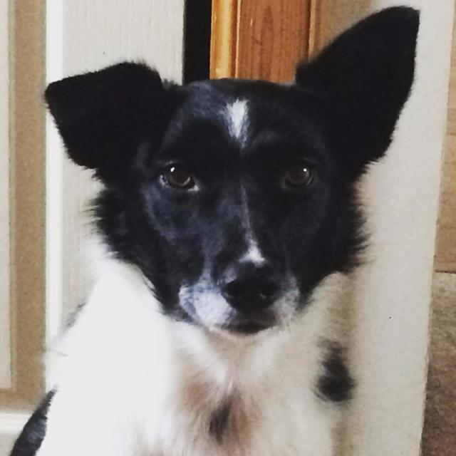 Kimmy the Border Collie