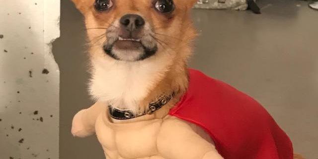 Manuel the Chihuahua