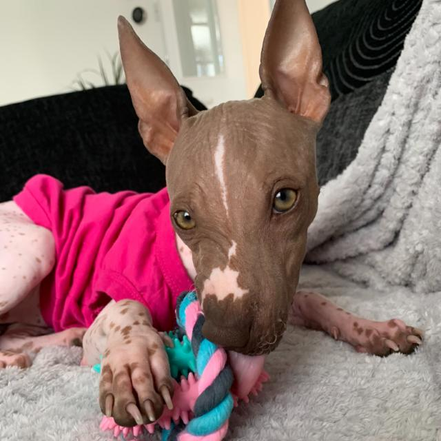 Leila the American Hairless Terrier